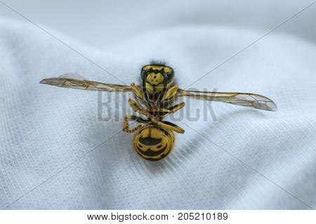 Macro close up shot of a Bee