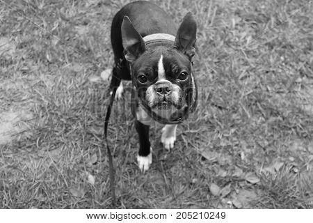 Small boston terrier dog looking from beneath in black and white. Smart looking little dog asking for food.