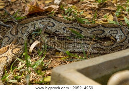 photo of a large Boa Constrictor snake