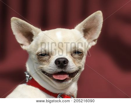 Dog Chihuahua Head Portrait - Short-haired