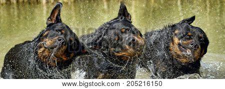 Rottweiler - Perfect Breed Representative