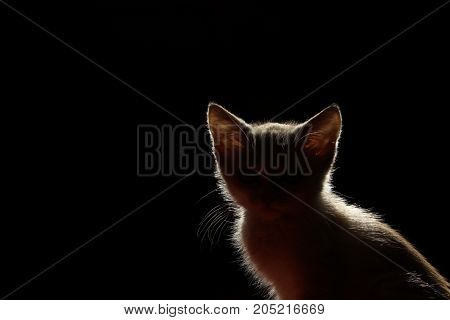 Silhouette Of A Beautiful cat On A Black Background. Silhouette Of A Kitten On Black Background, Cropped Shot.