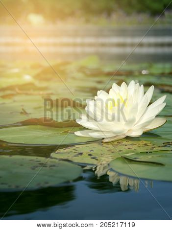 white lotus in the water with burst light