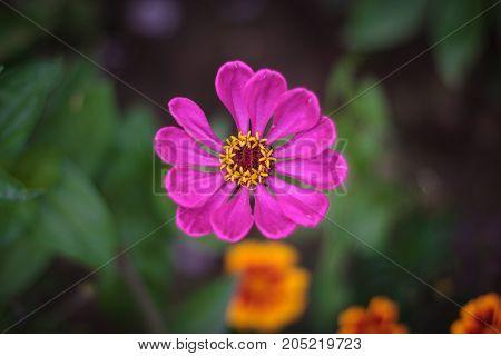 one purple flower of common zinnia or elegant zinnia