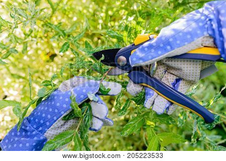 Pruning shrub branch with a garden secateur in the summer garden