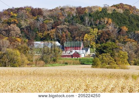 Autumn rural landscape with typical Wisconsin red barn and farm buildings on a colorful forest background and ripe corn fiery on a blurry foreground. Midwest USA.