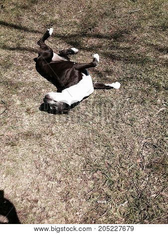 Happy black and white large boxer mix scratching her back on the ground. Happy dog