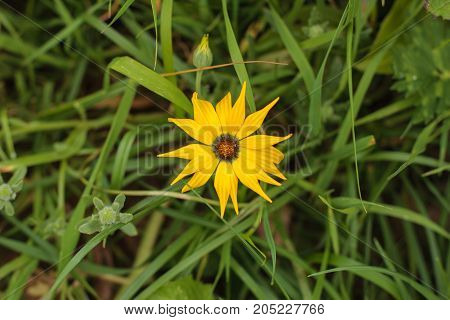 Close up of a yellow gazania flower from the daisy family, Asteraceae