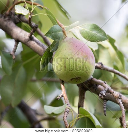 pears on the tree in nature . In a park in the nature