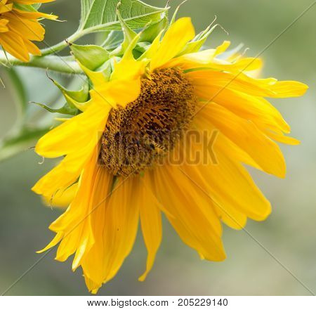 sunflower on nature . In a park in the nature