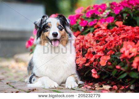 australian shepherd dog posing in the park