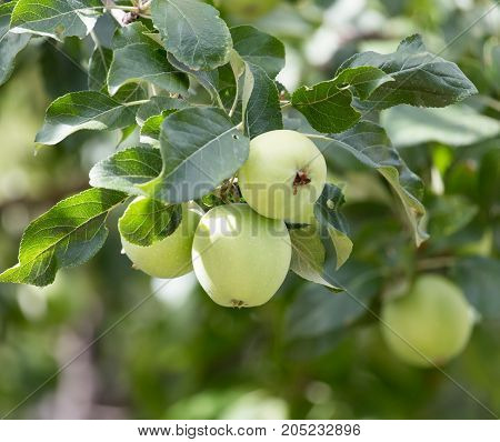 apples on the tree in nature . In a park in the nature