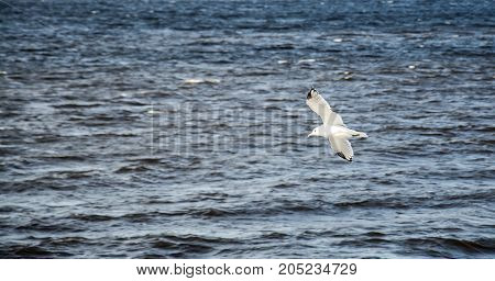 the white seagull is flying over the river close up