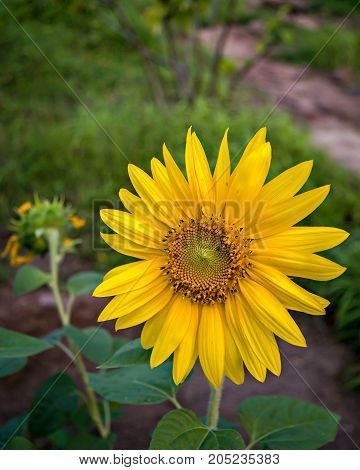 Fresh Shining Sunflower in the evening light.