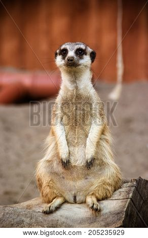 Meerkat standing on a log. Surikat protects the territory