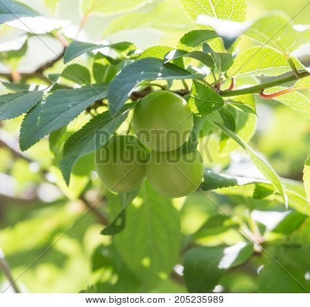 unripe plums on the tree . In a park in the nature