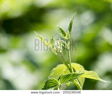 young leaves of raspberry . In a park in the nature