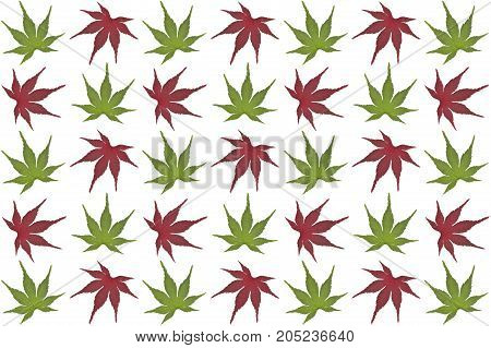 Green and red Japanese maple leaves on white background