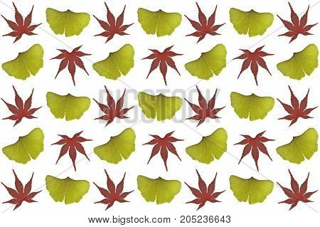 Japanese maple and ginkgo leaves on white background
