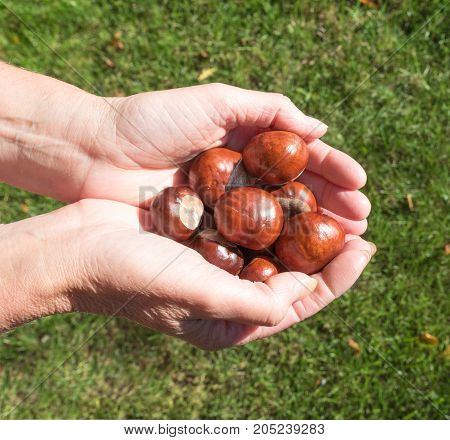 Woman holding a handful of fresh Conkers.