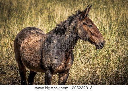 Close up of brown mule standing in tall grass in Rathdrum Idaho.