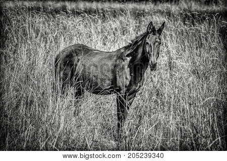 A B&W of a beautiful mule standing in tall grass in Rathdrum Idaho.