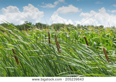Cattail on a windy day with blue sky and white clouds in the background