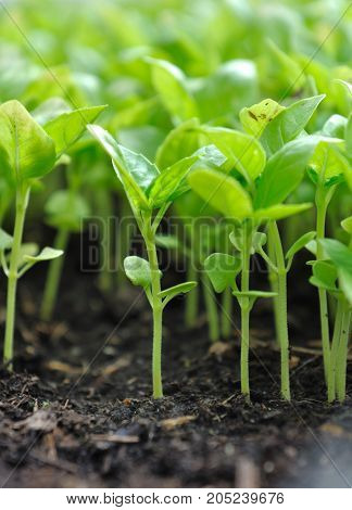 close on seedlings of basil in soil