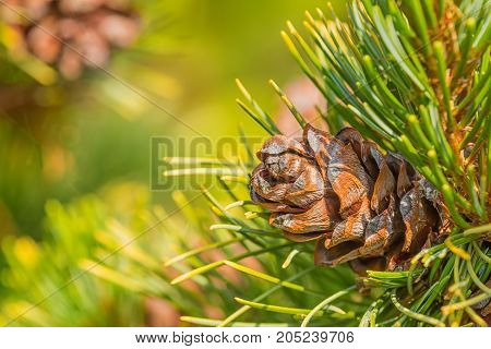 Pine cone and needles in foreground with a green blurred background on a sunny autumn day