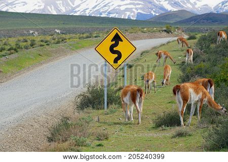 Flock of guanacos (Lama guanicoe) graze at the roadside in Torres del Paine National park, Patagonia, Chile.