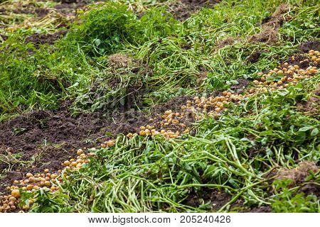 Harvesting Of Yellow Potato ( Solanum Phureja )