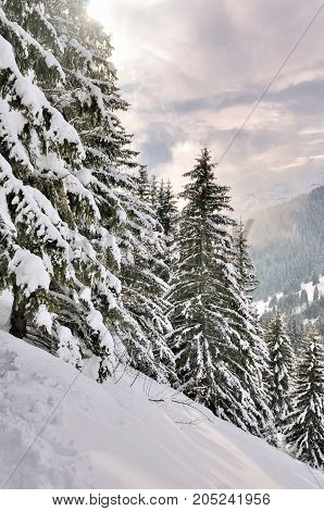 big firs in alpine snowy forest at sunset