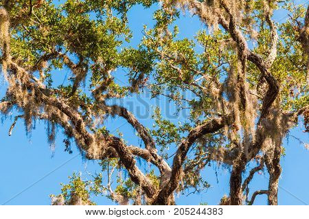 Branches of the banyan tree with spanish moss hanging on it on the background of clear sky