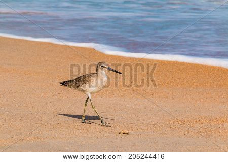 The wader walking on the sand shore of the ocean in sunny day