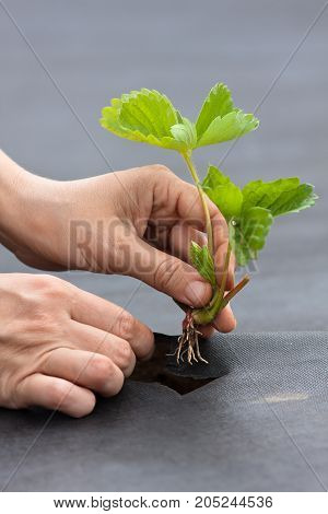 hands of gardener planting strawberry seedling on the black nonwoven mulch material