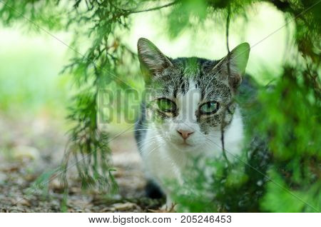 Beautiful domestic cat is hiding in the shadow of the bush in the garden. Cat life