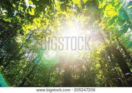 Green Forest. Sun Light Through Treetops.