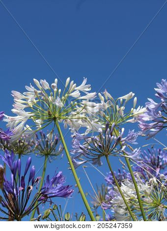 The pure white flowers of Agapanthus, also known as African Lily or Lily of the Nile against a background of blue sky, with copy space.