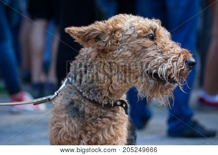 Airedale Terrier dog standing on the street
