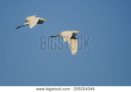 Pair of Great Egrets Flying in Blue Sky