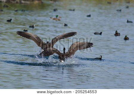Two Canada Geese Coming in for a Landing in the Water