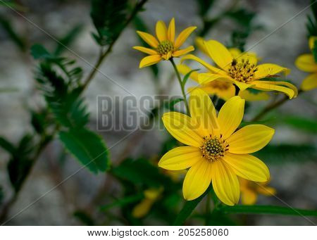 Small cluster of yellow wild daisies against rock blurred background
