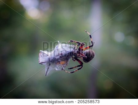Common garden spider with a beetle wrapped up in web with dark green background and bokeh