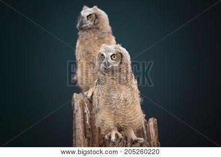 Couple of screech owl sitting on a tree