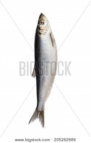Herring fish isolated on white background. Fresh Herring fish.