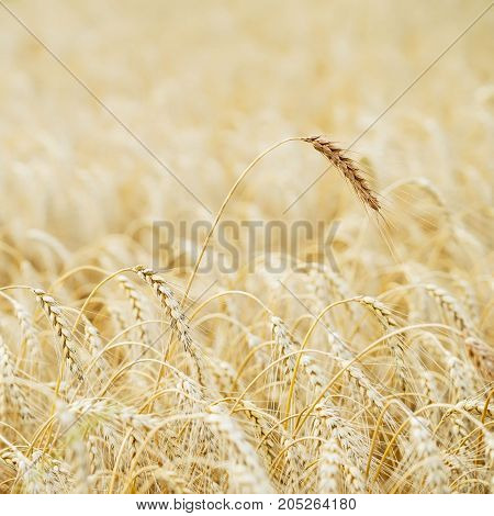 Golden field of ripe cereals. One high tall ripe full-grain cereal close-up on a hot summer afternoon against a yellow rye field. Rural square background