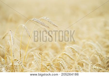 Golden field of ripe cereals. Several high tall ripe full-grain cereal close-up on a hot summer afternoon against a yellow rye field