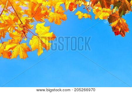Fall leaves background with free space for text. Colorful orange fall maple leaves against blue sky. Fall background with golden fall leaves. Fall nature view. Fall leaves lit by sunlight. Fall leaves