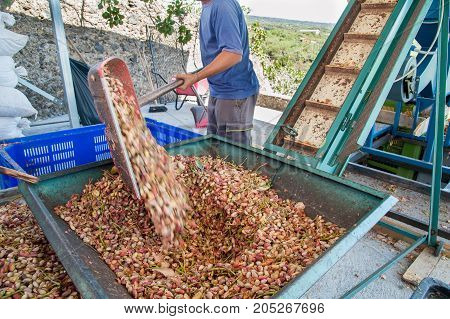 Big metal funnel filled with just picked pistachios for the dehusking process