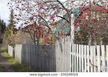 Tree Of Rowan In Autumn Day In The Village